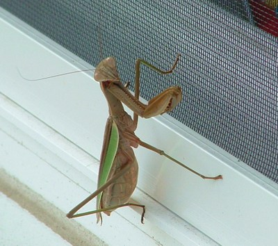 Praying_mantis_3